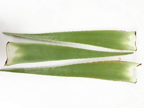 3 x Bestes Bio Aloe Vera Blatt - Barbadensis Miller