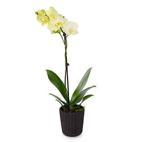 """Just Add Ice J-423 Orchid Easy Care Live Plants, 5"""" Diameter, Yellow"""