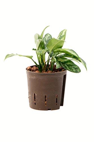 Kolbenfaden, Aglaonema commutatum Maria, Zimmerpflanze in Hydrokultur, 13/12er Kulturtopf, 25-30 cm