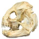 Wolf EEL Skull (Teaching Quality Replica)