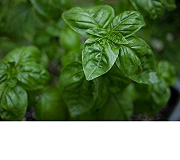 Potseed Samen Keimung: 800+ Genovese Basilikum Samen Fres: Basilikum, Basilikum Genovese Kräutersamen - Frische & Non GMO