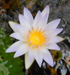Seerosen Samen (Für Teich und Aquarium) 10 frische Samen + Anzuchtanleitung ***Freie Farb-Sorten Auswahl*** (Seerose Weissblühend)