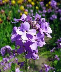 Generic Fresh 50 Stk. Abends duftende Hausgarten-Blumensamen zum Pflanzen von Lavendel
