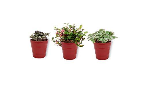 3 Zimmerpflanzen | Drei Grünpflanzen Tradescantia mit rotem Übertopf | Höhe 20-25cm | Topf 12cm
