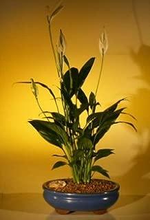 Bonsai Boy's Flowering Peace Lily Bonsai Tree spathiphyllum