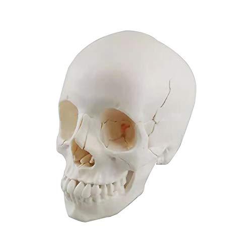 TKer Anatomisches Modell des menschlichen Schädels, Lebensgröße Menschliches Anatomie-Kopf-Skelett-Modell, Für die medizinische Ausbildung