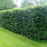50 x Fagus Sylvatica (Green Beech) 100-125cm bareroot (a108)