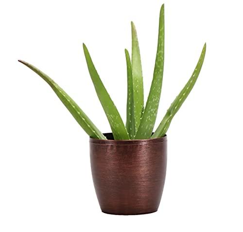 Thorsen's Greenhouse Aloe Vera, Live Indoor Plant, Aloe barbadensis, 10 Inches, Classic Pot Cover (White)