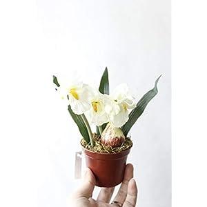 Silk Flower Arrangements Artificial and Dried Flower Minir Artificial Bonsai Iris Silk Flowers Bonsai Plants Artificial Flowe for Wedding Home Party Decorative - ( Color: White )
