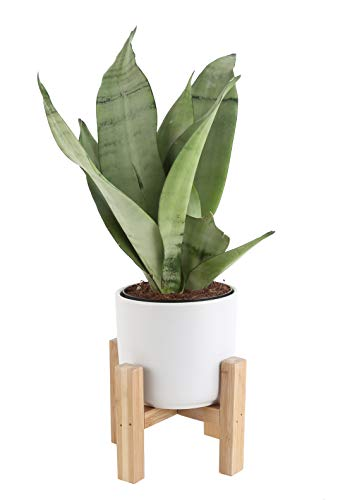 Costa Farms Snake, Sansevieria 4.25-Inch...