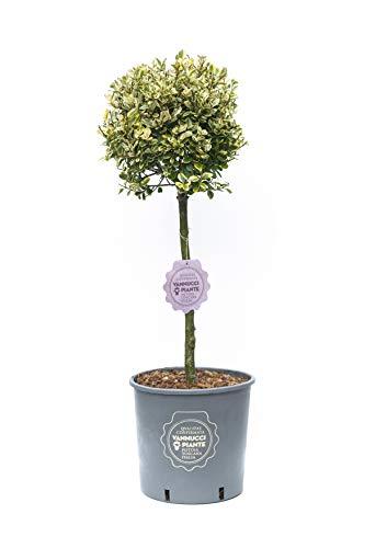 Ligustrum ovalifolium Aureum, Ligustro Aureum, Pianta vera in vaso di Vannucci Piante, Mini alberetto, Pianta formata, Pianta da terrazzo
