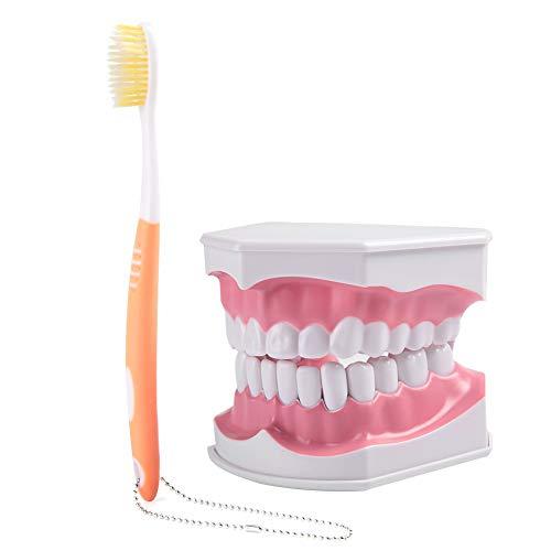 Zahnbürste und Zahnmodell - Dental für Erwachsene mit Abnehmbarem Hochwertigem Lehrmodell Zähne