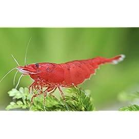 4 Rote Garnelen - Red Sakura - Neocaridina davidi