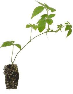 7 x Jiaogulan Pflanzen ' Kraut der Unsterblichkeit ' Gynostemma pentaphyllum Heilpflanze