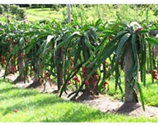 Dragon Fruit Four Live Plant Outdoor Garden American Beauty 4 Plants Best Gift