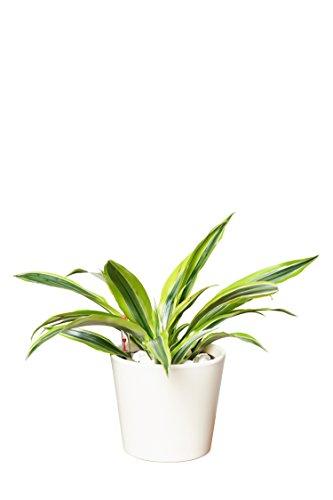 EVRGREEN   Zimmerpflanze Drachenbaum in Hydrokultur mit cemefarbenem Topf als Set   Dracaena deremensis Lemon Lime