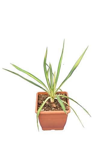 Fädige Palmlilie - Yucca filamentosa Golden Sword - Gesamthöhe 35-45 cm - 14x14 cm Topf