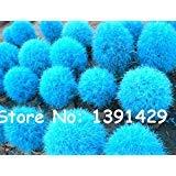 500pcs 12 sortes de graines Blue Grass Vivace Herbe Buisson Ardent Kochia Scoparia Seeds facile à cultiver Bonsai Red Garden ornemental