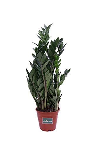 Pianta di Zamioculcas Zamilifolia pianta da interno pianta da appartamento pianta ornamentale di Zamioculcas pianta vera venduta da eGarden.store (Vaso 17 cm)
