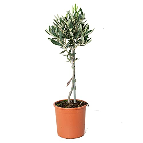 Olivenbaum am Stiel | Olea Europaea - Freilandpflanze im Gärtnertopf ⌀14 cm - ↕40-50 cm