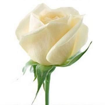 Pakhuis 20 White Rose Fleur Rose3 Seeds