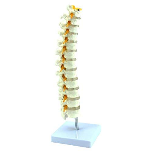 LIBAI Modelo de Columna Vertebral Humana: 1: 1 Modelo de Vertebra toracica Humana de Tamano Natural Vertebra Lumbar Modelo ortopedico ortopedico para Asistencia Medica de capacitacion educativa