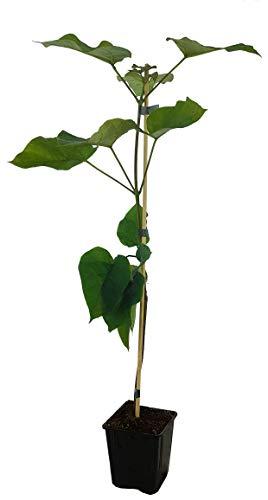 Seedeo® Trompetenbaum (Catalpa bignonioides) ca. 50 cm hoch
