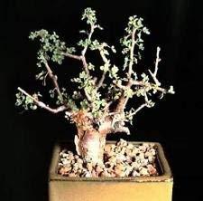 グッグルミルラの木、コミフォラwightiiエキゾチックCaudex Mukul盆栽の種5種
