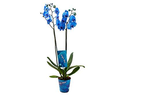 Orchidee von Botanicly – Schmetterlingsorchidee – Höhe: 75 cm, 2 Triebe, blaue Blüten – Phalaenopsis