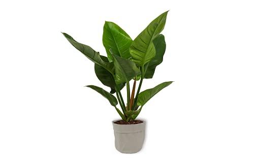 Philodendron Imperial Green - Baumfreund - Große Zimmerpflanze im grauer Dekotasche - Höhe +/- 60cm inklusive Topf - 19cm Durchmesser (Topf) - Pflegeleicht Echte Pflanze