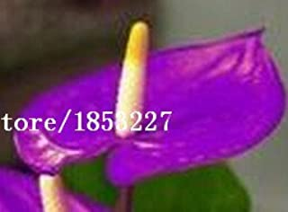 100/bag Rare Flower Seeds Anthurium Andraeanu Seeds Balcony Potted Plant Anthurium Flower Seeds for DIY Home Garden