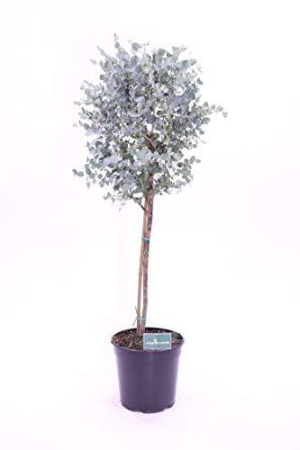 pianta di Eucalipto Eucalyptus Gunnii alberello pianta da esterno pianta ornamentale venduta da eGarden.store