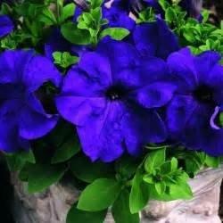 100pcs / sac d'escalade Mandevilla graines Sanderi, graines de DIPLADENIA, Bonsai Fleur des plantes pour la décoration maison et pot mur de la cour 8