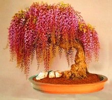 Livraison gratuite, 10seeds / sac rares Graines de plantes d'or Mini Wisteria arbres poussent facilement à l'intérieur Maison Bonsai ornemental