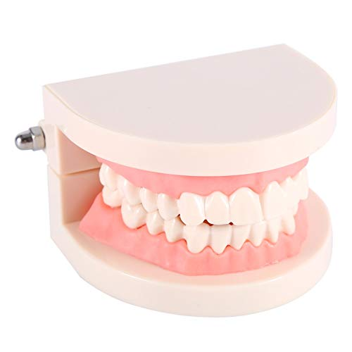 Zahnmodell - Dental Teaching Study Standardmodell Demonstration Teach Kinder Zähneputzen PVC 1pc