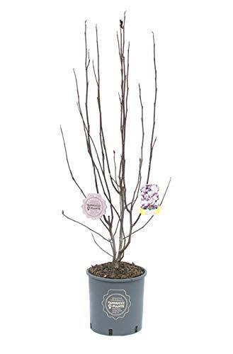 Magnolia x soulangeana, Magnolia da fiore, Pianta vera in vaso, Pianta da terrazzo