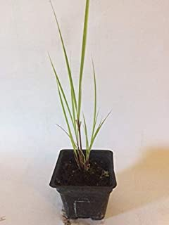 cymbopogon citratus plant