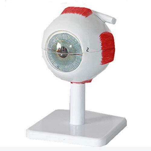 Modelo De Ojo Humano con Signos Digitales, Modelo Anatómicamente Preciso 3X Anatomía De Globo Ocular Ampliado, 7 Partes Extraíbles, para Estudios Médicos. Pantalla Enseñanza