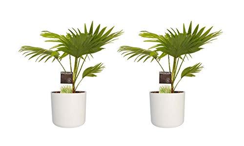 Hellogreen Zimmerpflanze - Set 2 - Livistona Rotundifolia - Fan Palm - Höhe: 45 cm - Elho B.FOR Weiche weiße - Luftreinigend