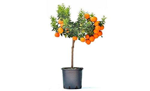 alberello citrus mirtypholia CHINOTTO in vaso color cotto