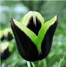 Todos los tipos de bulbos de tulipanes hermosas flores de jardín son adecuados para las plantas en maceta (no es una semilla de tulipán) bulbos 2PC 9