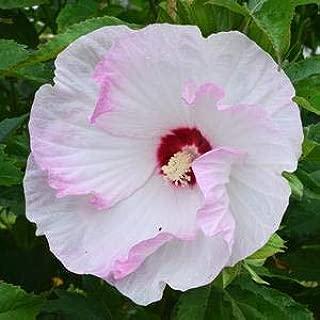 Hibiscus-Ballet-Slippers - QT Pot (Perennial)
