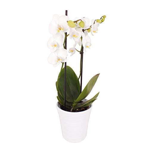 Topfplanze Orchidee 2-Triebe Weiß incl. dekorativem Übertopf in weiß Phalaenopsis Zimmerpflanze