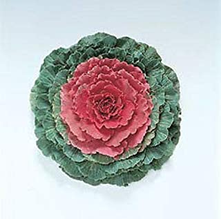 Flowering Cabbage Pigeon Red 250 Seeds
