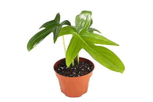 "Philodendron Pedatum – 4"" from California Tropicals"