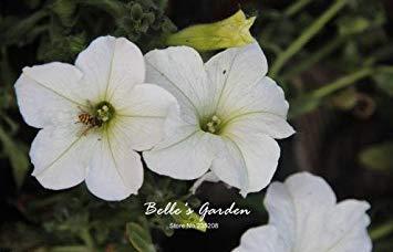 100 pcs/sac graines de pétunia, pétales de double graines de fleurs de pétunia, plante en pot bonsaï vivaces pour le jardin de la maison 11