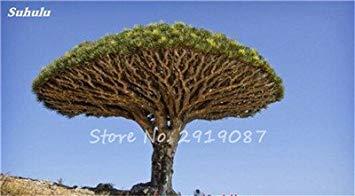 Livraison gratuite 10 Pcs rares Dracaena arbre alpiste Tree Island sang (Dracaena draco) Jardin des plantes voyantes, exotiques 10 Diy