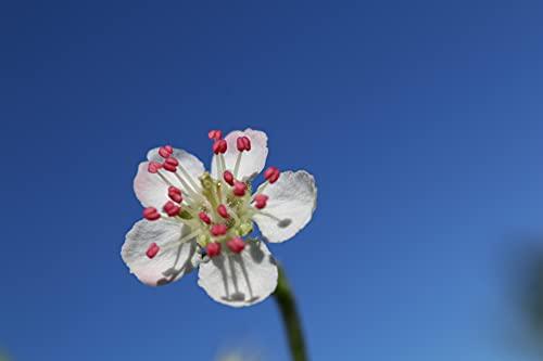 Aronia Pflanze, Aronia Strauch Sorte Nero, Premium Qualität, 60-80 cm, wurzelnackt mit Dünger