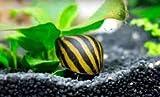 SevenSeaSupply 3 Zebra Nerite Fresh Water Aquarium Snails