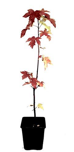 Seedeo® Amerikanischer Amberbaum (liquidambar styraciflua) Pflanze 2,5 Jahre alt